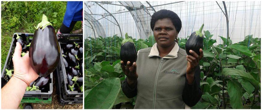 Aubergine-farm-at-harvested