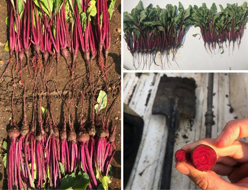 Beetroot Grown With An Organic Polymicrobial Biofertilizer