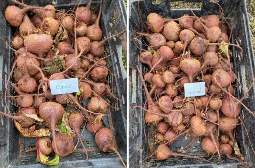Beetroot Yield Result Comparison