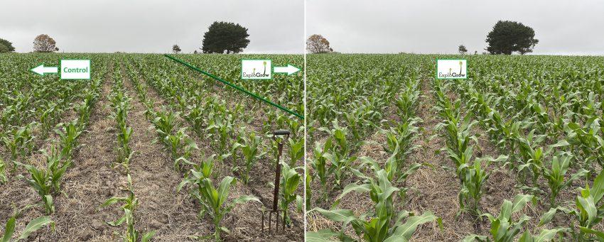 Biostimulant Seed Treatment On Dryland Maize 2