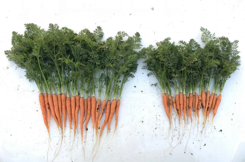 Carrot Grown With An Organic Polymicrobial Biofertilizer