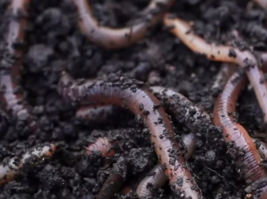 Earthworms And Explo Grow Organic Microbial Biofertilizer