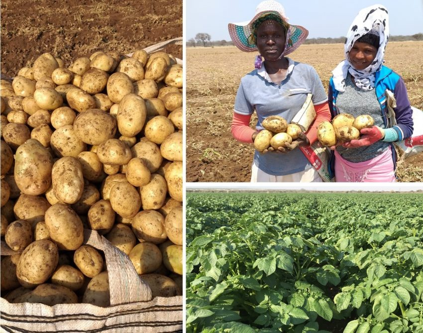 Limpopo Potato Farmer Crushes 60 Year Old Farm Record With 88 Tons Per Ha By Using Organic Bio Fertiliser