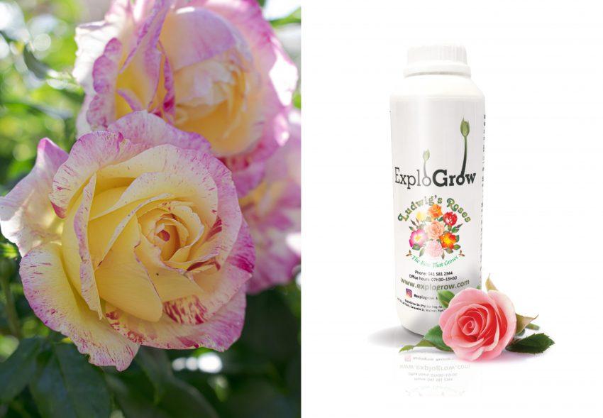 Ludwig Roses Farm With Explo Grow Microbial Bio Fertiliser 100 Ml