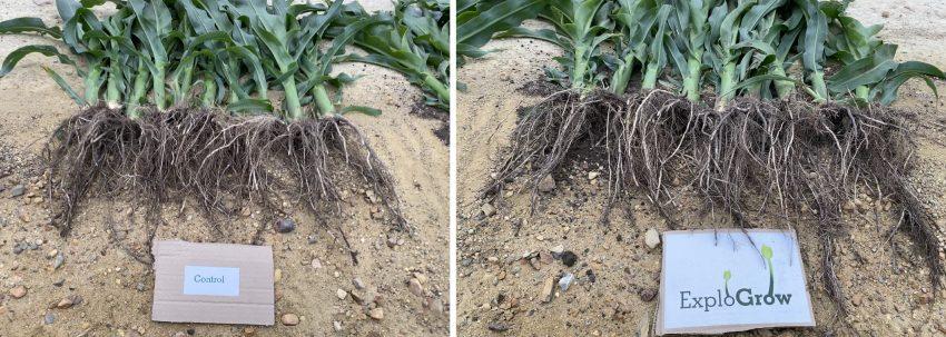 Microbial Fertilizer With Organic Biostimulant Seed Treatment On Dryland Maize 3