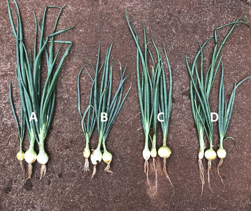 Onions Developed Roots Double In Size Unaffected By The Root Knot Nematode