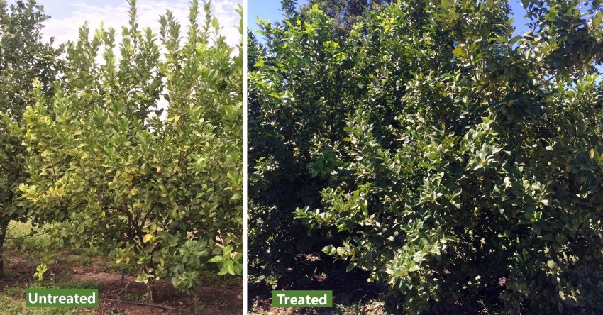 Organic Citrus Trees Microbial Biofertiliser Control Test