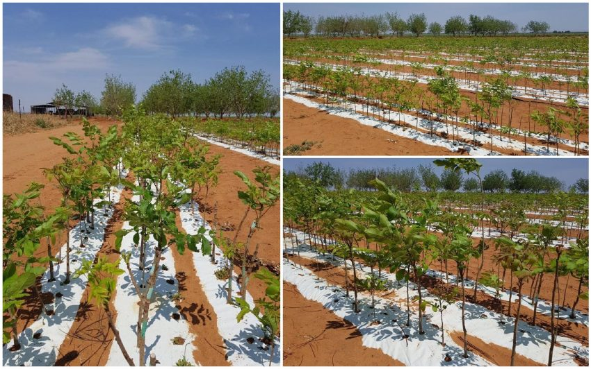 Pecan Nut Trees Planted With Explo Grow Microbial Biofertiliser Doubled Growth Rate