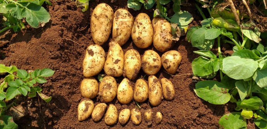 Potatoes With An Organic Microbial Biofertilizer