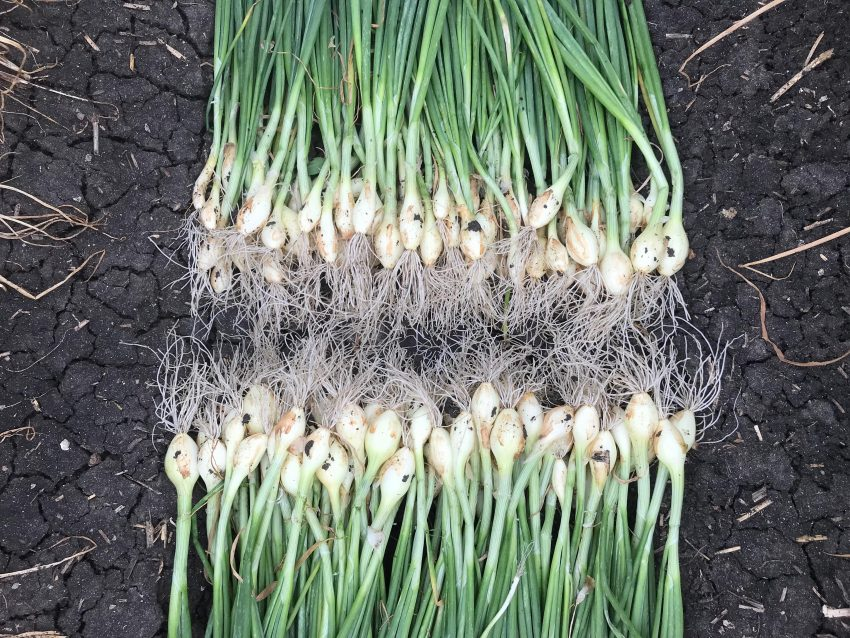 Seed Onions With Organic Poly Microbial Biofertilizer