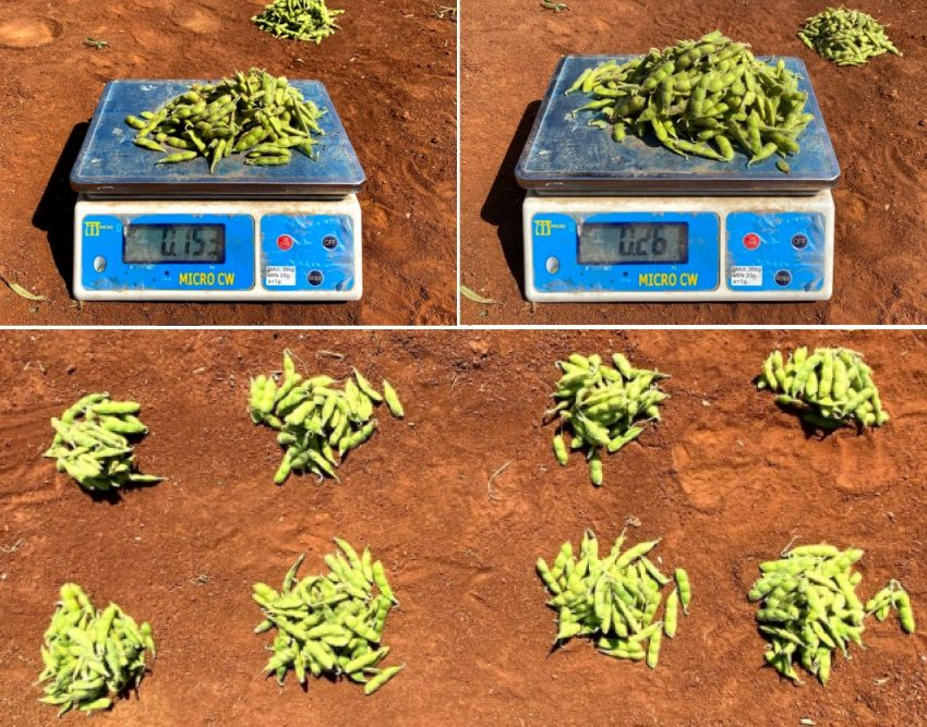 Soya Plant Showing Greater Pod Yield After Appling Nitrogen Fixing Explogrow