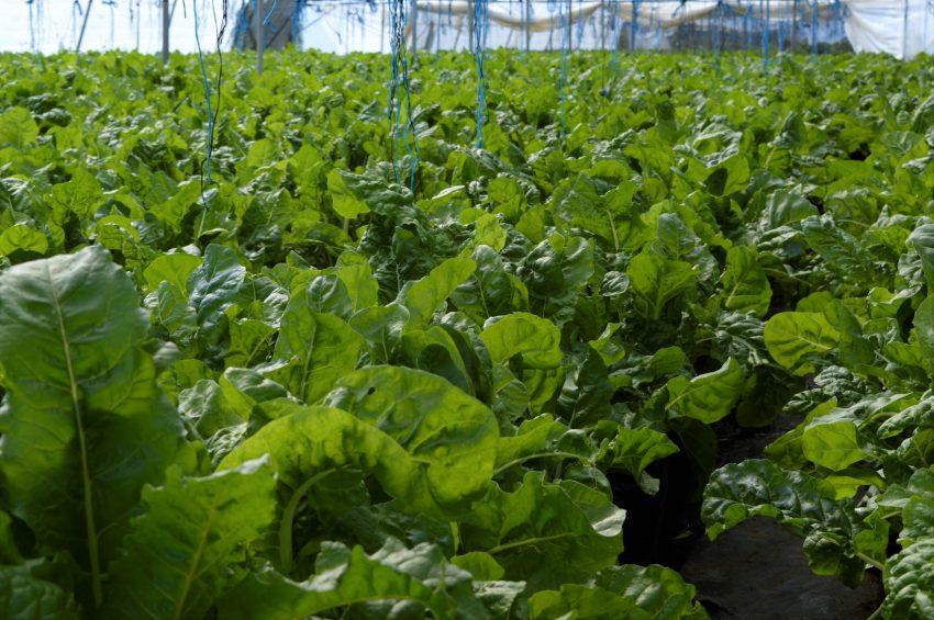 Spinach-farm