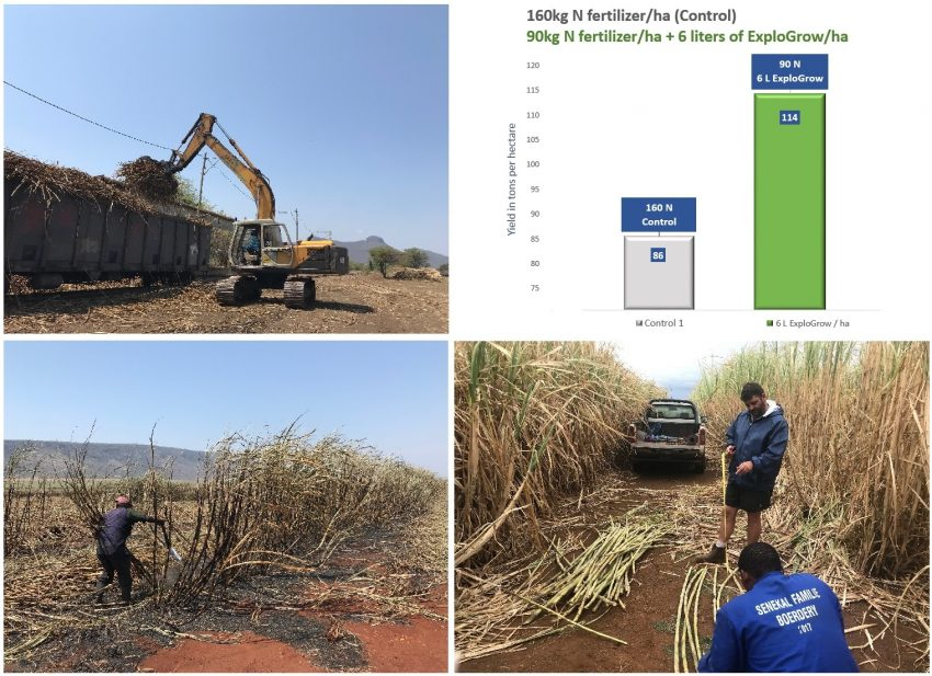 Sugarcane Harvest Higher Yield Grown With Natural Benificial Microbes Biofertilizer