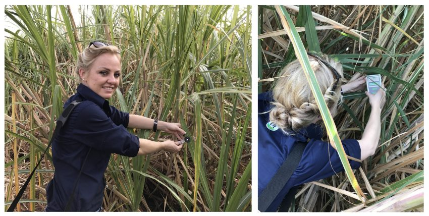 Sugarcane Improved Photosynthesis And Leaf Biomass With Natural Biological Microbial Fertilizer