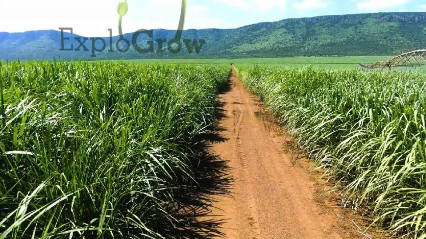 Sugarcane Leaf Biomass With Natural Biological Microbial Fertilizer