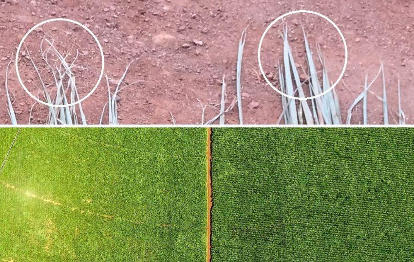 Sugarcane Leaf Water Retention With Biofertiliser Green