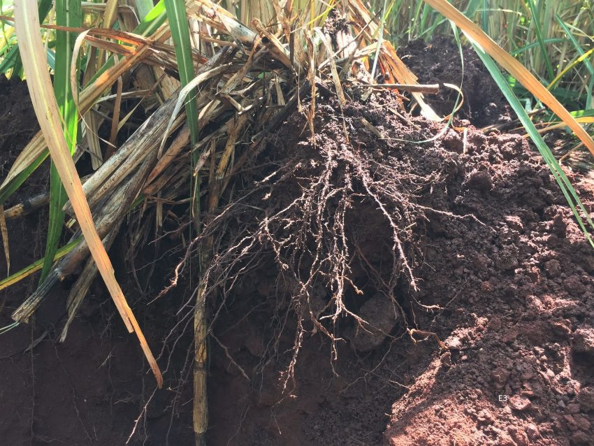 Sugarcane Root Development Organic Biofertilizer After 4 Months E3