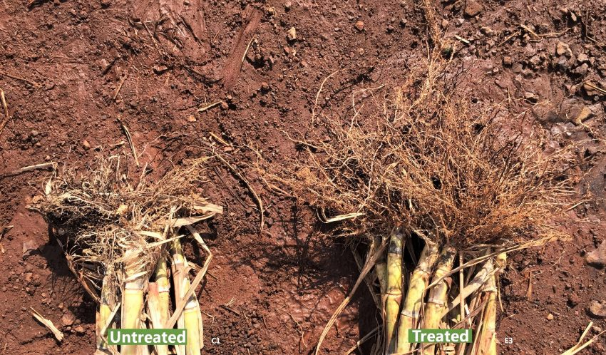 Sugarcane Root Development Treated With Biofertilizer E3 C1