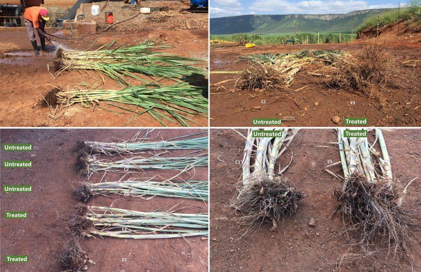 Sugarcane Root Development With Biofertilizer 4 Months C1 C2 C3 E3