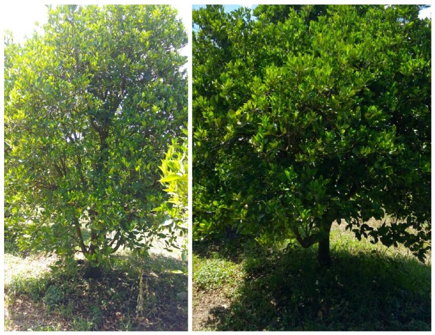 Valencia-Orange-Trees-with-organic-fertilizer-on-the-right