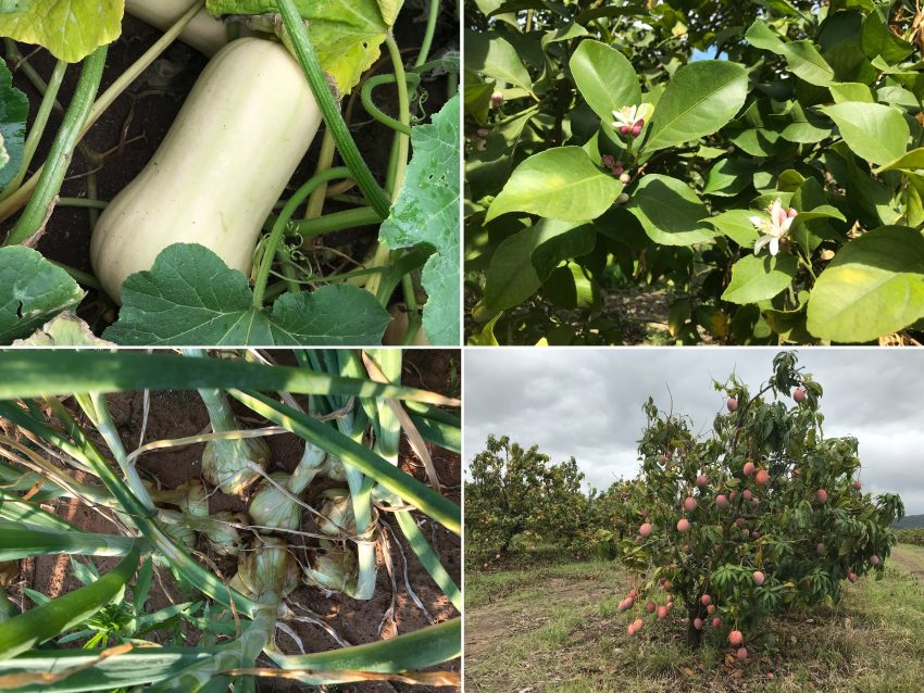 Vegetables And Tree Crops Grown Using Organic Bio Fertilizer With A Poly Microbial Blend