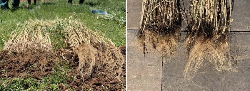Wheat Crop Root Mass Increase With Explo Grow During Youth Development Farm