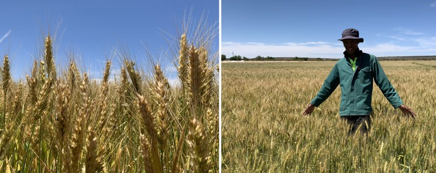Wheat Crop Yield Increased With Explo Grow During Youth Development Farm