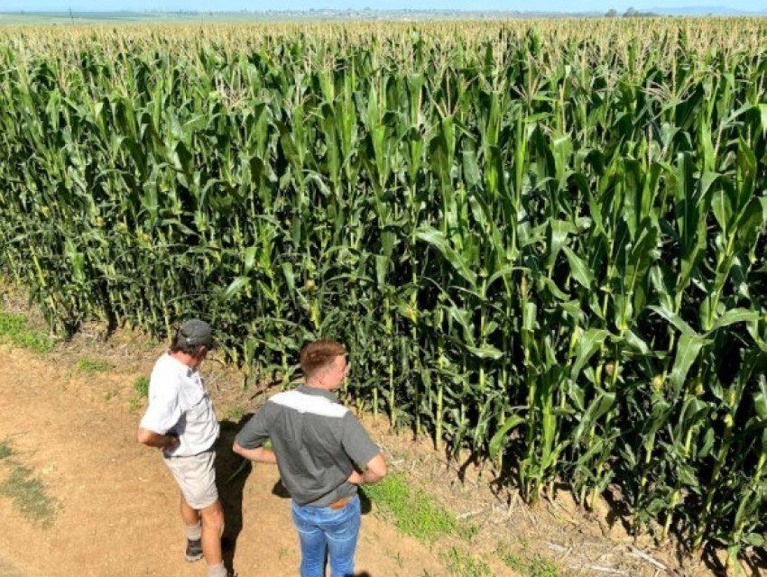 Zunckel No Till Irrigated Maize