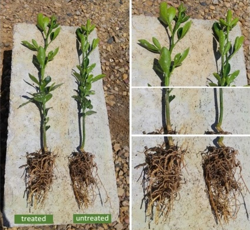 citrus-orange-trees-growing-faster-with-organic-fertilizer