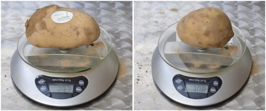 Largest Organically Grown Treated Potatoes Vs Unreated