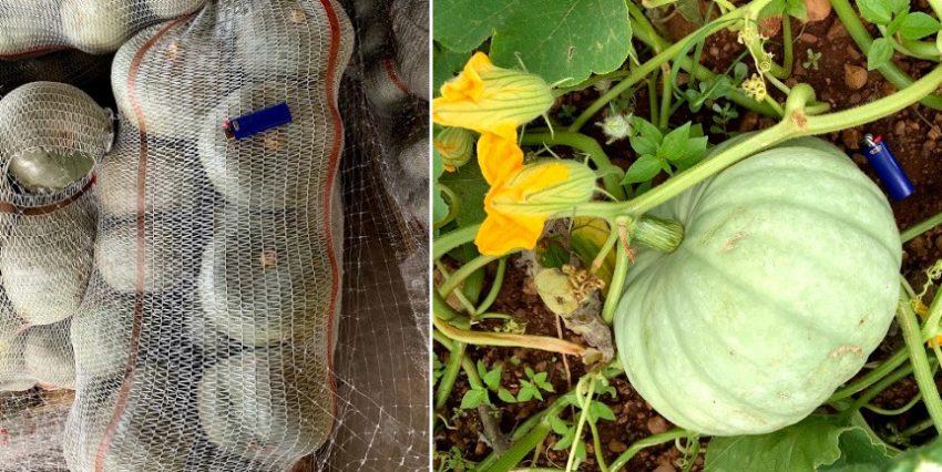 Pumkin Results After Reducing All Fertiliser Inputs By Half